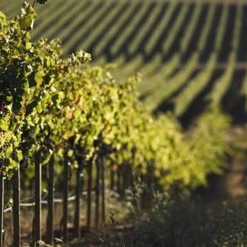 Vignes-Champagne-Horizon