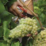 Vendange-Vignoble-Artisan-Champagne-Terroir