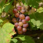 Grappe-Vin-Champagne